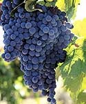 Large cluster of grapes