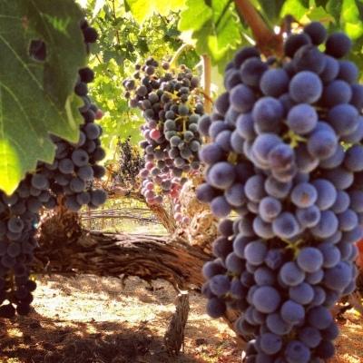 purple wine grapes on the vine in California
