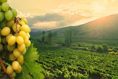 Vineyard near Adelaida Cellars
