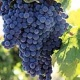 Large bunch of purple wine grapes