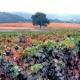 vineyard view of grape vines